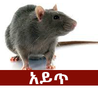 Rat - The Most Common Phobia In Ethiopia