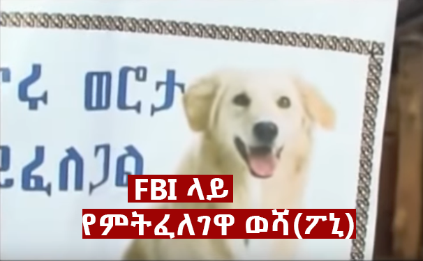 dog On FBI 2 - The Most Unforgettable non human characters in Ethiopian Movie