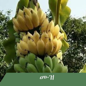 Banana 300x300 - Fruit tree you wish to have at home?