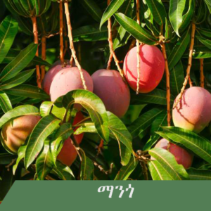 Mango 300x300 - Fruit tree you wish to have at home?